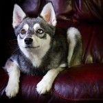 Аляскинский кли кай на диване