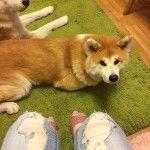 Преданный и мудрый друг — японская собака акита ину