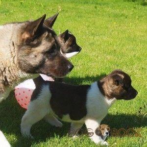 Американская акита с щенками
