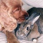Кокер с кроликом
