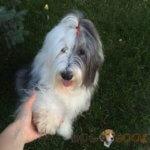 Бобтейл — породы собаки и ее особенности