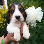 Щенки собаки бигль: фото, описание, уход, цена