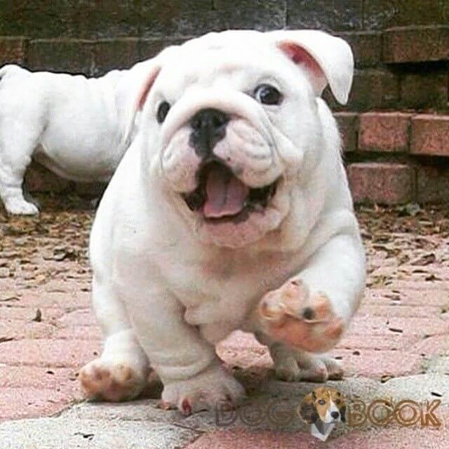 английский бульдог фото щенок