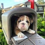 Английский бульдог - щенок в почтовом ящике