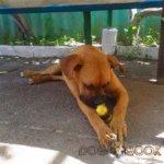 Собака боксер фото 1
