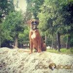 Собака боксер фото 4