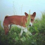 Басенджи - собака средних пород