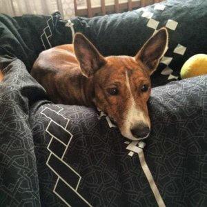Басенджи - фото собаки