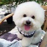 Бишон фризе — порода собак и ее особенность