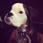 Боксер - фото щенка