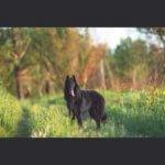 Взрослая овчарка грюнендаль