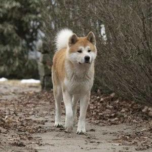 Хатико - порода собаки акита ину