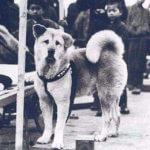 Хатико: порода собаки акита ину