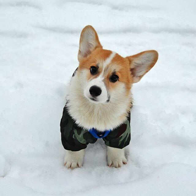 Кардиган Собака Фото Цена
