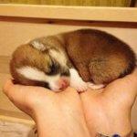 Вельш корги - фото щенка