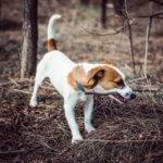 Джек рассел терьер — охотник и компаньон