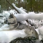 Хаски — порода собак