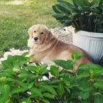 Золотистый ретривер отдыхает на траве