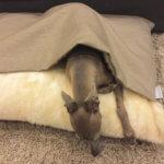 Лавретка спит