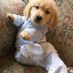 Забавный щенок золотистого ретривера