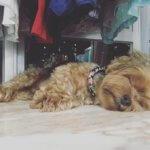 Йоркширский терьер спит