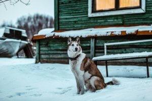 Западно сибирская лайка - фото 4