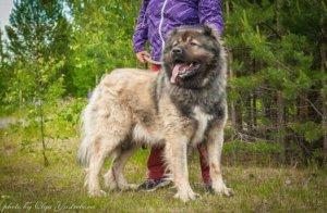 Кавказская овчарка - фото 7