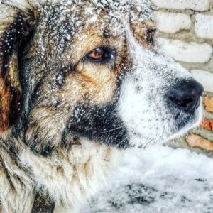 Кавказская овчарка - фото 3