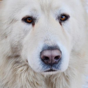 Кавказская овчарка - фото 8