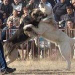 Азиатский алабай или кавказская овчарка: кто сильней?