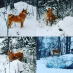 Карело-финская лайка - фото 4