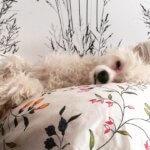 Китайская хохлатая собака - фото 7