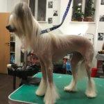 Китайская хохлатая собака - фото 3