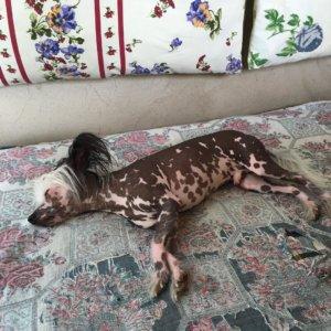 Китайская хохлатая собака - фото 9