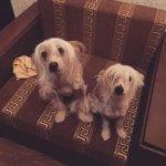 Китайская хохлатая собака - фото 6