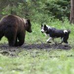 Карельская медвежья собака(лайка)