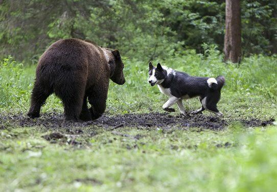 фото медвежья лайка