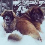 Леонбергер - зимняя прогулка