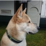 Ханаанская собака — универсальный надежный сторож и преданный друг