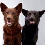 Австралийский келпи — овчарка с корнями собаки динго