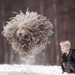 Венгерская собака комондор — «волк в овечьей шкуре»