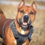 Питбультерьер — охранник, охотник и надежный друг