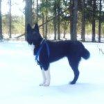 Русско-европейская лайка — прирождённый охотник и верный товарищ