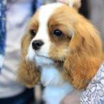 Антистрессовая собака кавалер кинг чарльз спаниель
