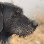 Дратхаар — настойчивый охотник и добрый компаньон