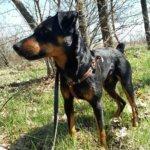 Немецкий ягдтерьер — собака охотничьих кровей