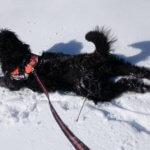 Русский черный терьер – 140 фунтов элегантности и достоинства