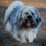 Тибетский терьер – косматая собака, приносящая удачу
