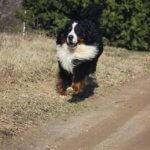 Бернский зенненхунд — веселый нрав, сила, выносливость и красота