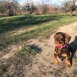 Карликовая такса — уменьшенная копия охотничьей собаки